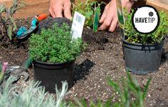 Det er nemt at gro og plante sine egne krydderurter i haven.