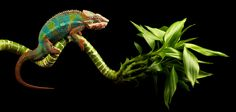 Chameleon by Mark Bridger, via 500px