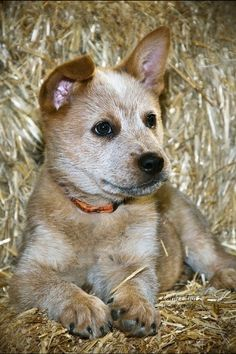 Queensland Heeler Pup also known as the Australian Cattle Dog. We got our dog, Dundee, as an adult form a shelter. he could have looked like this as a pup. Aussie Cattle Dog, Austrailian Cattle Dog, I Love Dogs, Cute Dogs, Large Dog Breeds, Dog Rules, Crazy Dog, Mans Best Friend, Dogs And Puppies