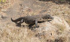 Komodo dragon by Adolfo Perez Coronado Komodo Dragon, Reptiles, Animals, Animaux, Animal, Animales, Animais