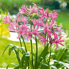 Nerine bowdenii (Guernsey Lily) Blooming: Sep - Oct. Height: 0.6 m. Planting: Mar - May.