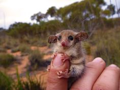 sciencealert:    How could you not love this little guy?! This is a western pygmy possum from Australia. It's one of the largest species of pygmy possum in the world: http://bit.ly/1yrRJsk