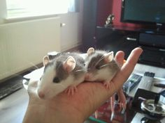 Our rats