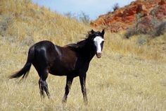 Horse      Wild (Feral) Horse in the South Unit of Theodore Roosevelt National Park.