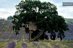 A treehouse. Over a field of lavender. In Italy. Amazing.