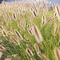 PENNISETUM alopecuroides 'Japonicum' (Herbe aux écouvillons) : Des panicules plumeuses, constituées d'épis cylindriques en forme d'écouvillons jaillissent du feuillage pour former des 'fontaines' de fleurs ( dénommé 'fountain grass' en anglais). Touffe vigoureuse, feuillage vert sombre. Gros épis brun foncé à pointe blanche.