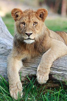 Lion Cubby Darrell Ybarrondo