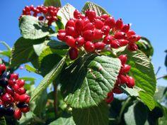 Viburnum lantana - ostorménfa adoxaceae