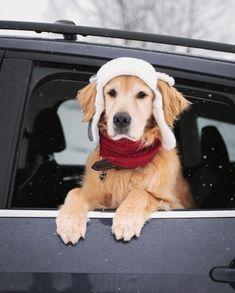 💙 Weekendul ăsta e musai să scoți cățelul și sania la aer curat! 💙 Golden Life, Breeze, Dogs, Animals, Charles Spurgeon, Image, Instagram, Shotgun, Bear