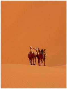 Camels (Algeria ) - Dromadaires (Algérie), via Flickr.