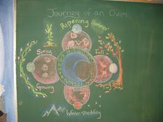 Waldorf ~ 7th grade ~ Human Physiology ~ Reproduction ~ Journey of an Ovum ~ chalkboard drawing