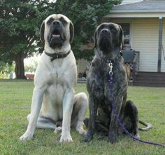 English Mastiffs, so cute 🙂 Almost looks like our pair of Mastiff; male apricot black faced and female reverse brindle… English Mastiffs, so cute 🙂 Almost looks like our pair of Mastiff; male aprico… Source by Singinganewsong Top Dog Breeds, Giant Dog Breeds, Giant Dogs, Mastiff Breeds, Mastiff Dogs, Brindle Mastiff, Clumber Spaniel, English Mastiff Puppies, English Mastiffs