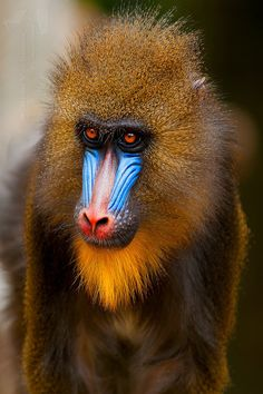 MANDRILL: the world's largest species of monkey, with males weighing as much as 110 lbs and standing up to 3 ft tall; also the most colorful monkey there is. With it's olive green or dark gray coat with yellow and black bands, a white belly, a hairless f