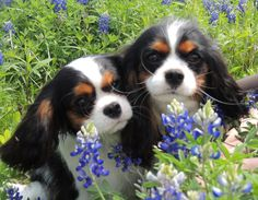 Sophie & Cooper in the Blue Bonnets Easter Sunday