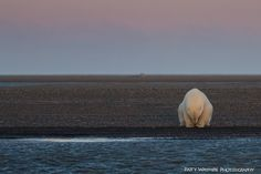 She Went To Alaska To Photograph Polar Bears In Snow, But Found No Snow | The Huffington Post