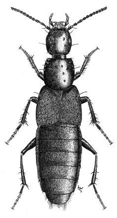 Philonthus decorus Grav. (Staphylinidae)