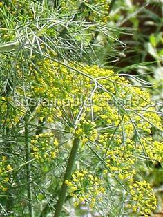 Dill Bouquet Herb Seeds         Seed package contains 1 grams         Everyone knows of the delicious flavor that dill adds to so many dishes.     This variety is one of the earliest and most savory.    Bouquet dill reaches 2-3' tall and produces yellow umbel-shaped flowers.     These flowers are a magnet for many butterflies like the magnificent Swallowtail butterfly. $1.99