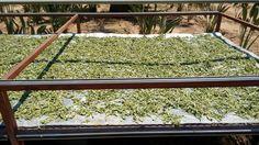 El sol un aliado importante para steviakaahee® di si alas energias renovables