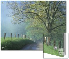 Foggy Road and Oak, Cades Cove, Great Smoky Mountains National Park, Tennessee, USA Art on Acrylic by Darrell Gulin at Art.com