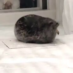 Tube chonk - your daily dose of funny cats - cute kittens - pet memes - pets in clothes - kitty breeds - sweet animal pictures - perfect photos for cat moms Cute Little Animals, Cute Funny Animals, Funny Cute, Cute Cats, Big Cats, Cute Animal Videos, Cute Animal Pictures, Funny Animal Memes, Pet Memes