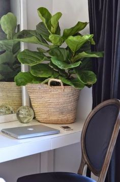 All Gardenista Garden Design Inspiration Stories in One Place Fiddle leaf fig tree office plant l Ga Decor, Indoor Gardens, Garden Design, Office Plants, Acrylic Coffee Table, House Plants Indoor, Plant Decor, Natural Baskets, Fiddle Leaf