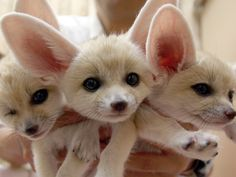 I want a fox so bad. We've all heard about exotic pets being dangerous to both owners and bystanders. Here are 10 exotic pets that pose no more threat to public safety than your average domesticated animal. Cute Creatures, Beautiful Creatures, Animals Beautiful, Majestic Animals, Cute Baby Animals, Animals And Pets, Odd Animals, Animal Babies, Fennec Fox Baby