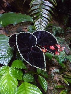 Begonia darthvaderiana (yes, really). Black leaves with a silver lining.