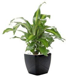 Jarrett Indoor Plant Hire - Happy Plant shade tolerant