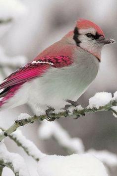 Pink Tinged Birdie