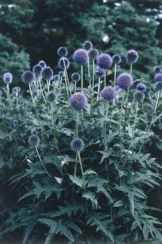 Perennials GLOBE THISTLE part sun- partial shade.are prickly and weed=like often pulled out and confused with an invasive plant. Just get gumtree balls, spray paint blue, glue onto a skewer and call it good. Shade Garden, Garden Plants, Garden Beds, Fruit Garden, Beautiful Gardens, Beautiful Flowers, Thistle Plant, Thistle Flower, Invasive Plants