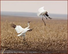Whooping for joy! List Of Birds, All Birds, Pretty Pics, Pretty Pictures, All Things Cute, Beautiful Things, Crane Dance, Herons, Bird Watching