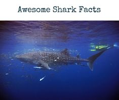 Here are 25 Cool Shark Facts that you won't find anywhere. Sharks are majestic and mysterious. Get their mysteries unraveled through incredible information on sharks. Cool Sharks, Shark Facts, Animal Facts, Mysterious, Whale, Creatures, The Incredibles, Animals, Whales