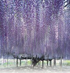 Ghé thăm xứ sở hoa tử đằng mộng mơ và nên thơ ở Nhật Bản - Ảnh 5.