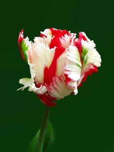 I'm crazy about parrot tulips.