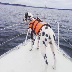 Esther shows us the way ⛵️ #dalmatinslove #gotspots @insta_animal #dalmatiner  #visomhardalmatiner @dalmatians_of_instagram @dogsofinstagram @dalmatianspotlight  @excellent_dogs #Swedisharchipelago #Sail #2weeksonaboat #boatdogs #boatlife #summer