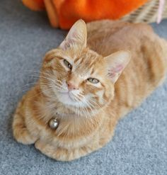 Sweet ginger cat.