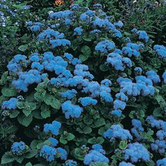 Ageratum 'Blue Mink' - perfect for wildflower gardens. #flowersforbutterflies