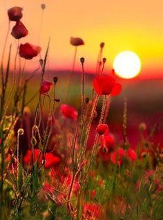 Springtime in Palestine, poppies in bloom