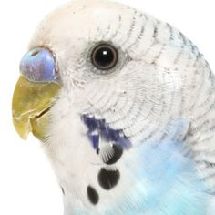 If you are thinking about getting another parakeet, follow these tips on introducing the two birds.