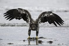 Juvenile bald eagle protecting its meal