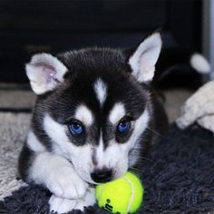 Pix We Love: Husky Puppies Make Us Want to Howl!