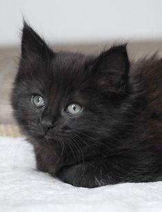 Chat noir aux yeux gris.
