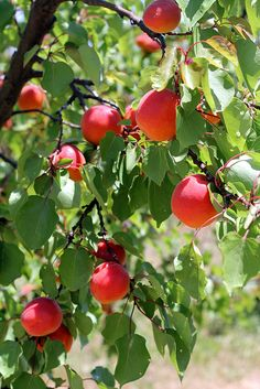 Frog Hollow Farm's Robada apricot - they're big, beautiful and juicy! Fruit Plants, Fruit Garden, Garden Trees, Edible Garden, Fruit Trees, Trees To Plant, Exotic Fruit, Tropical Fruits, Exotic Plants