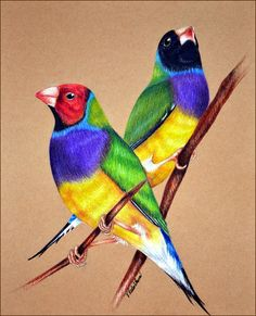 gouldian_finches_by_verenique-d7hcpfr.jpg (950×1172)