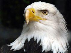 Free Image on Pixabay - Animal, Adler, White Tailed Eagle Eagle Images, Eagle Pictures, Free Pictures, Free Images, Animal Pictures, Types Of Eagles, White Tailed Eagle, Eagle Drawing, Eagle Bird