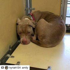 @Regrann from @rutholaf -  #Repost @kyriah124 with @repostapp ・・・ 🆘🐶💔🙏 URGENT LITTLE CALLA IS SO IN NEED OF LOVE AND SECURITY 🆘💔 SHE DESERVES A LOVING FOREVER HOME NOW HER LIFE IS IN DANGER 🆘🐶💔🙏#Repost @dogmeetsfamily with @repostapp ・・・ There are 2 videos of Calla here. She's a very petite 1.5yo old spayed #pitbull who was found as a stray on 3/15. She's so quiet and very calm. She's usually just sitting in 1 spot staring at everyone who passes by. This little girl is breaking…