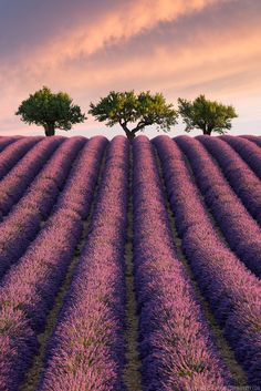 A lavender field in Provence, Southern France /// #travel #wanderlust #purple