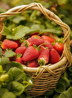 Strawberry Farm, Strawberry Patch, Strawberry Fields, Strawberry Picking, Fruit And Veg, Fruits And Vegetables, Fresh Fruit, Beautiful Fruits, Acai Berry