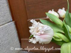 Wunderschöne gefranste Tulpen Friday, Plants, Daffodils, Natural Garden, Shade Perennials, Tulips, Hobbies, Nice Asses, Plant