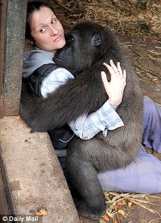 Shufai was a baby when hunters left his arm peppered with gunshots,the injured youngster was rescued & taken to a sanctuary where, with love & patience, his emotional wounds began to heal. In this pic he falls asleep in arms of sanctuary boss. Primates, Animals And Pets, Baby Animals, Cute Animals, Beautiful Creatures, Animals Beautiful, Mundo Animal, Tier Fotos, Animal Kingdom
